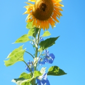 Sunflower and Morning Glories