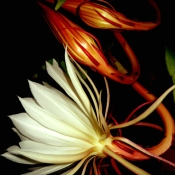 Night Blooming Cereus 2