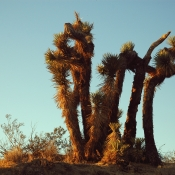 Joshua Tree Family