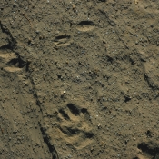 rabbit and lion tracks
