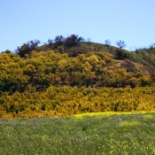 East End avocados,mustard, and lupine in bloom
